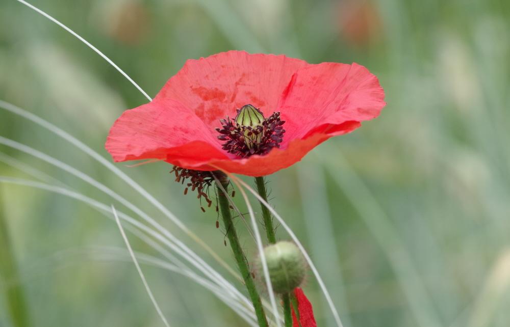 May Poppy