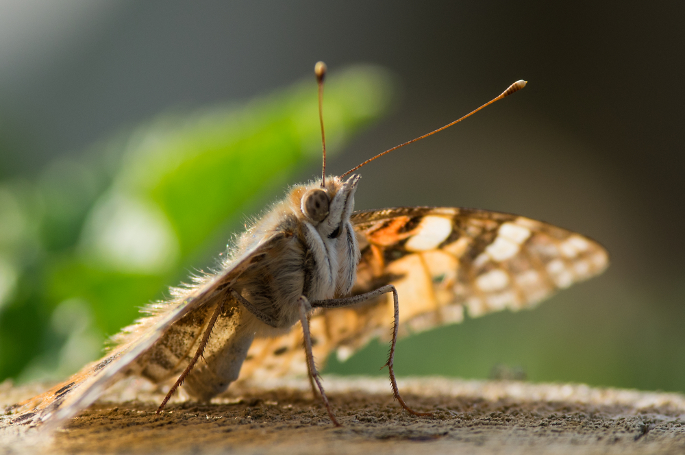 Painted Lady in Evening Sunshine