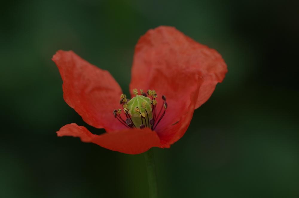 Red Poppy v4