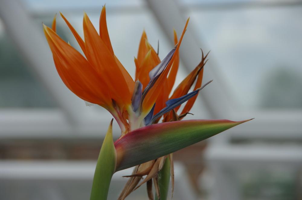 Strelitzia or Bird Of Paradise Plant