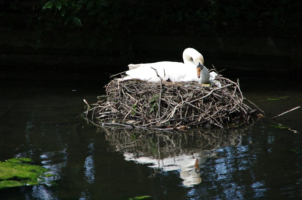 Swan at home
