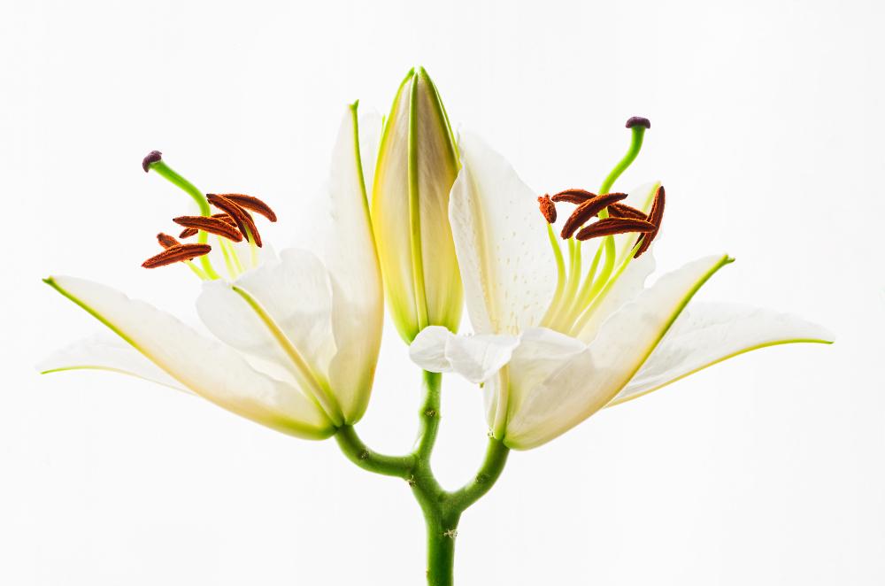 The elegance of the lilium
