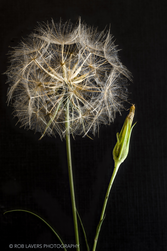 A seed head of Goat's-beard - Tragopogon pratensis