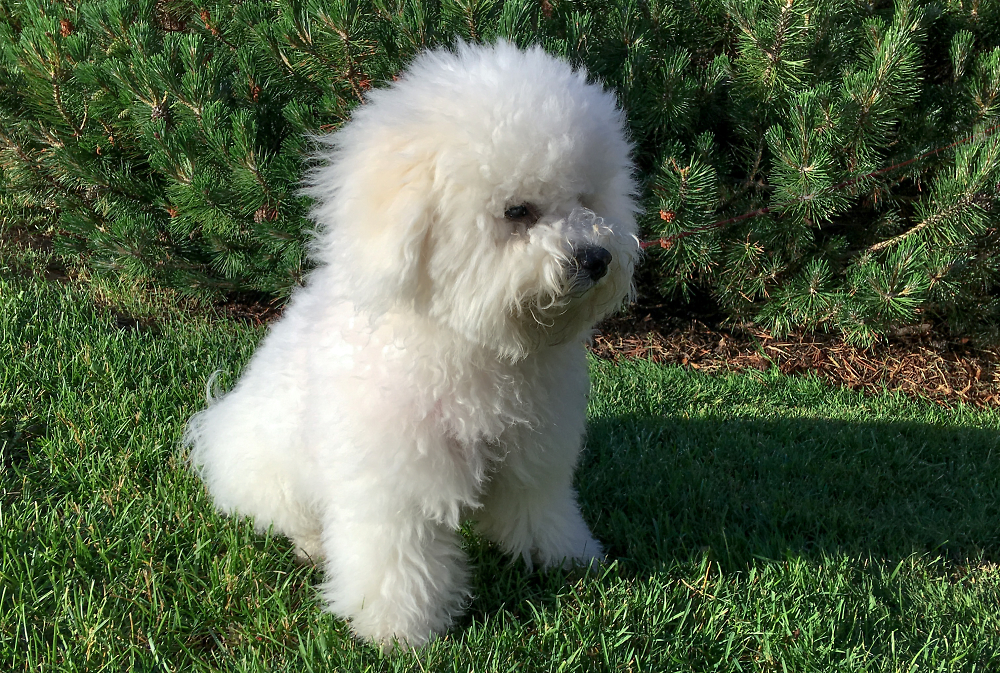 Bichon Pup Rampant on a Field of Green