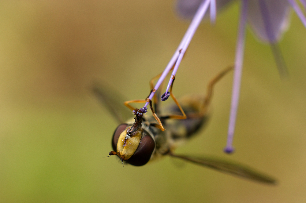Just a Hoverfly
