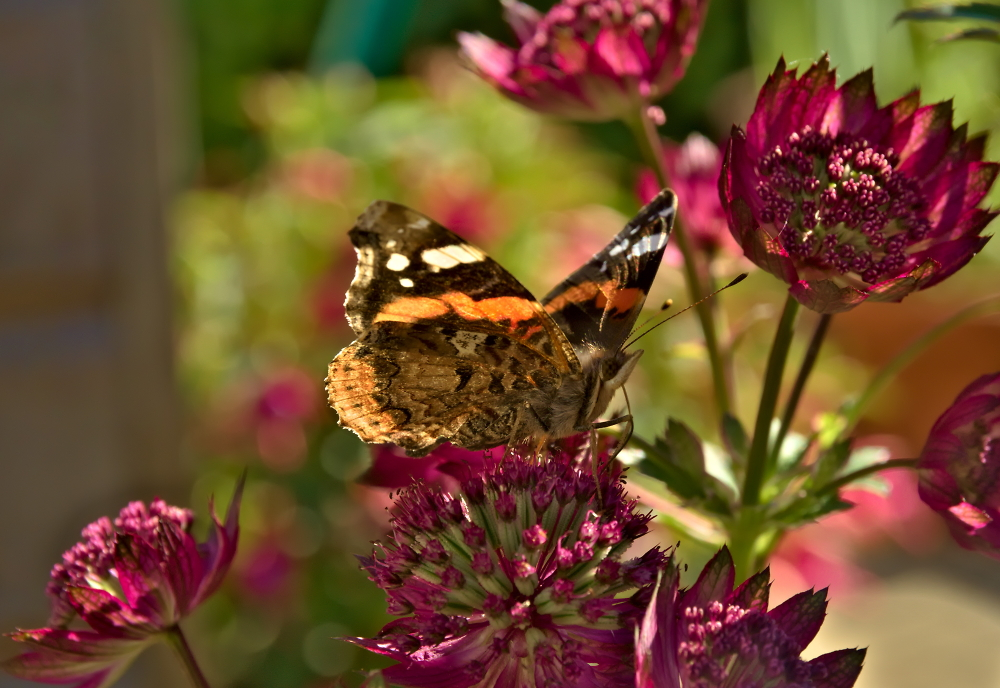 Red Admiral on Astrantia.