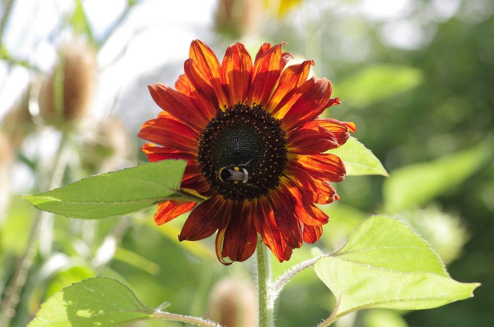 A 'Painterly' Sunflower