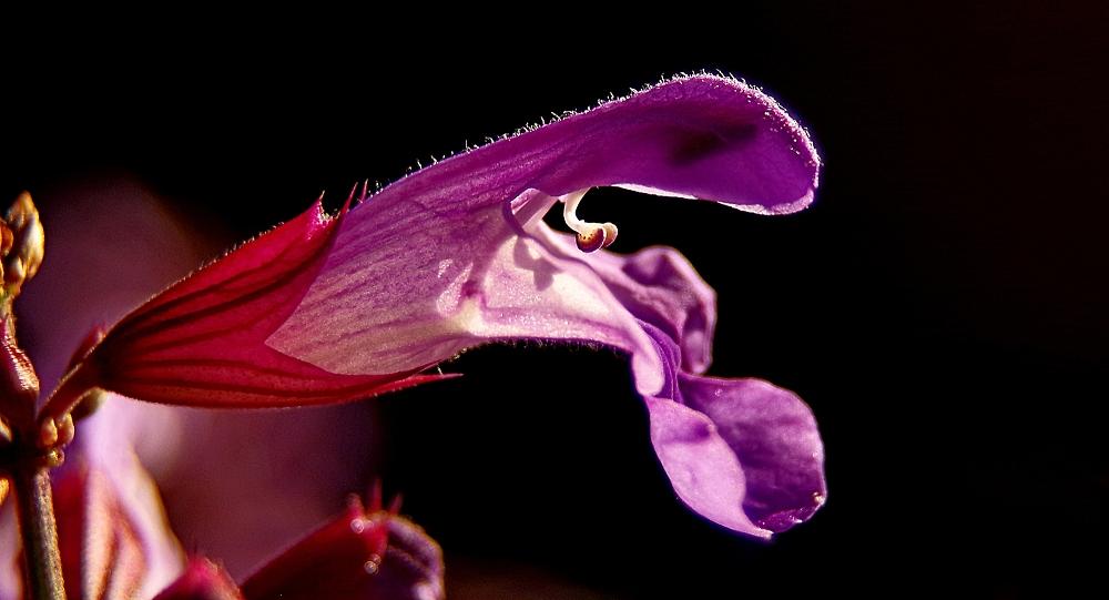 A sage flower
