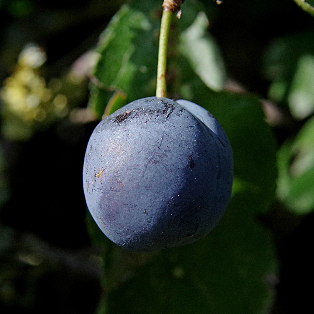 A sloe berry waiting for the gin