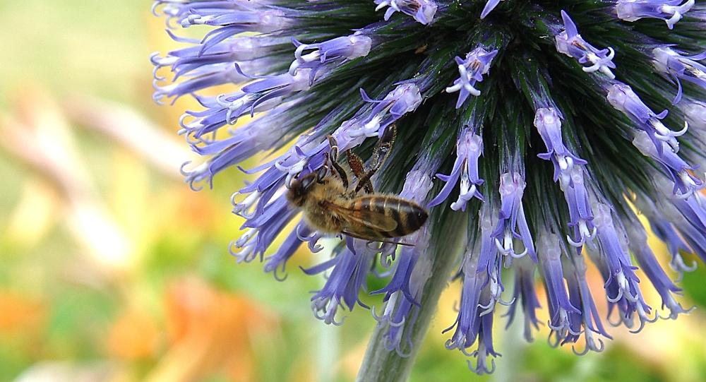 Honey bee visiting an allium flower