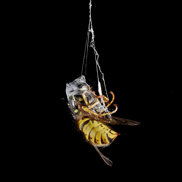 Demise of a wasp