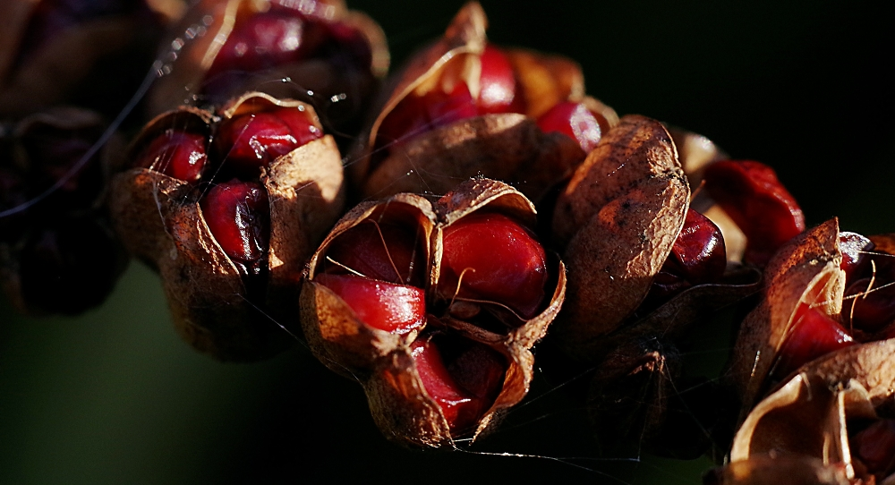 Crocosmia seeds