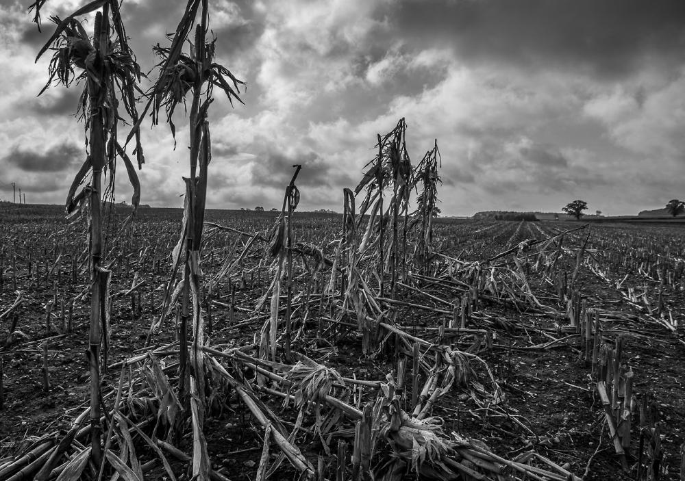 Last Corn Standing