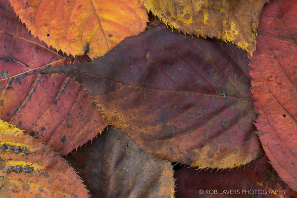 Autumn leaves close-up