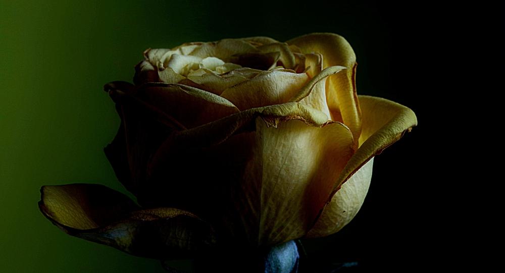 A not quite dead rose