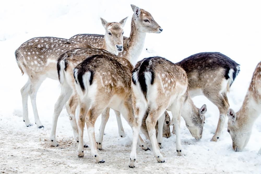 Daims - Fallow deers