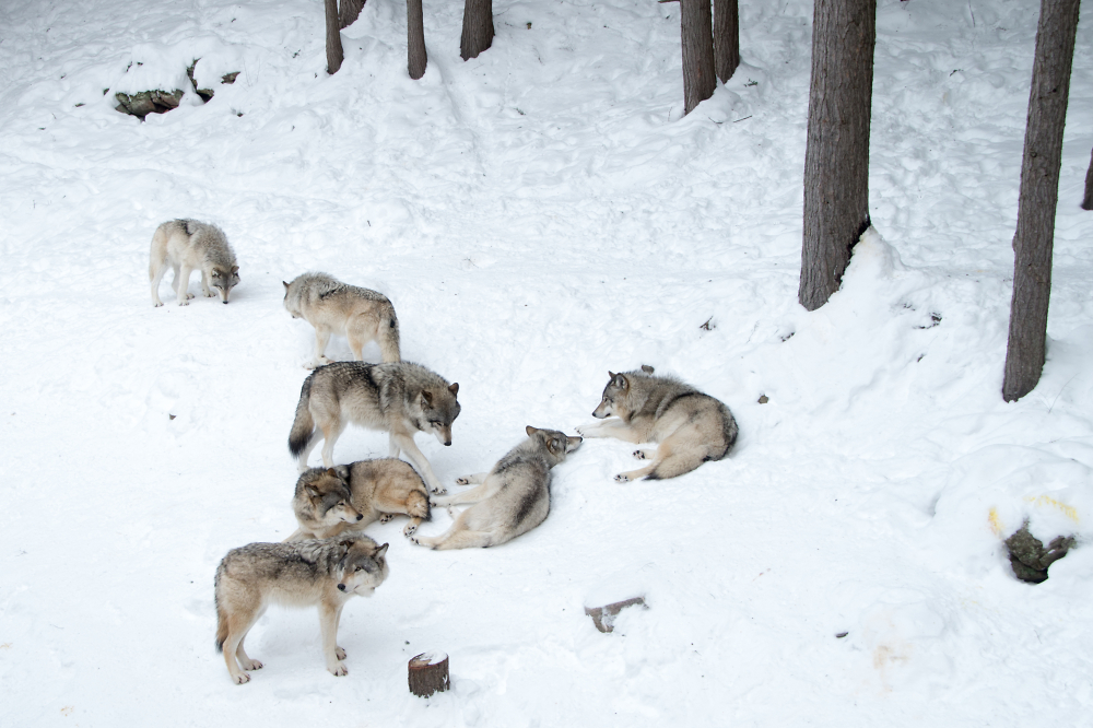 Meute de loup gris - Gray wolf pack