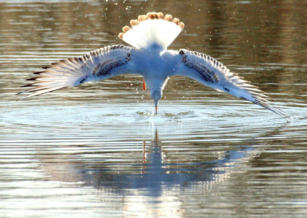 BlacHeaded Gull ''fishing''