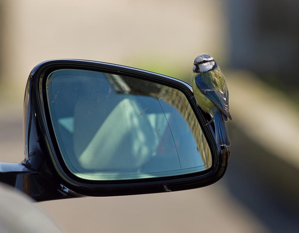 Blue Tit on car mirror