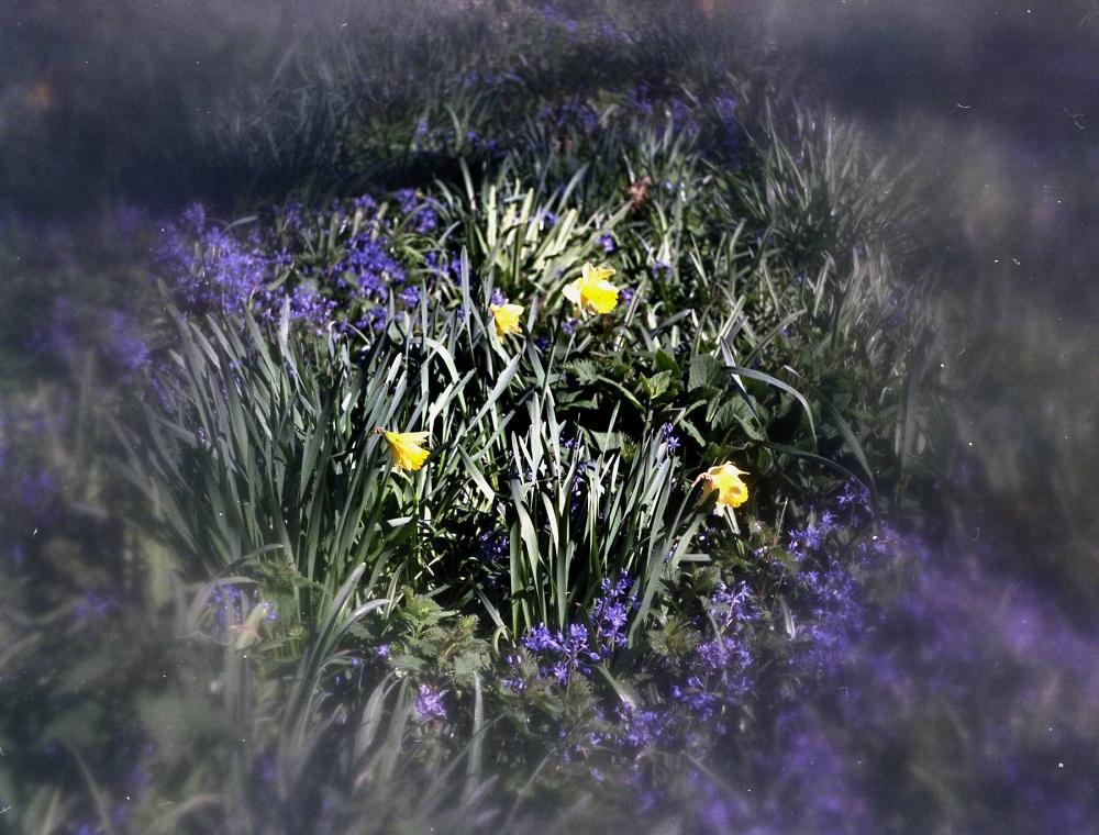 Center Spot Daffodils