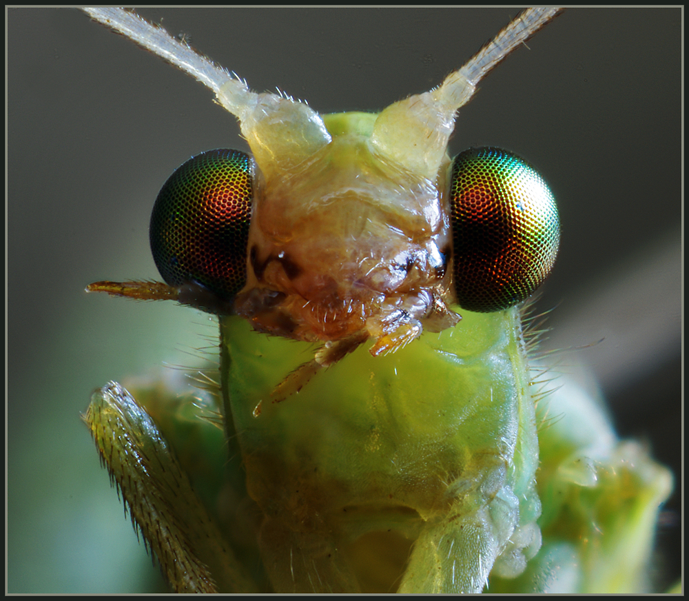 Green Lacewing Portrait