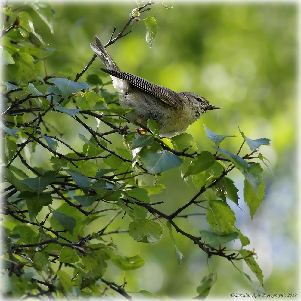 Juvenile Willow Warbler (Phylloscopus trochilus)