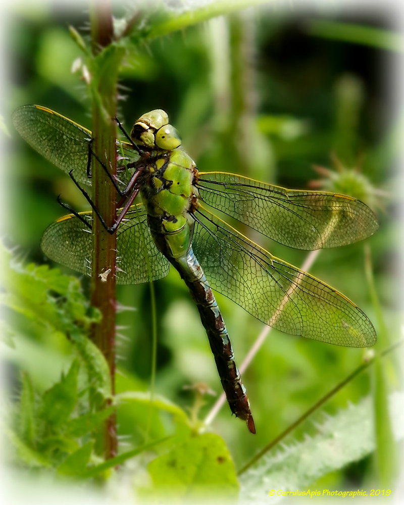 Male Emperor Dragonfly (Anax imperator)