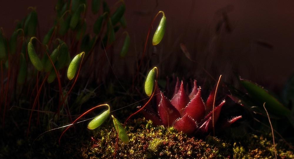 Moss and sempervivum