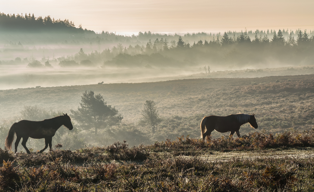 New Forest ponies at dawn