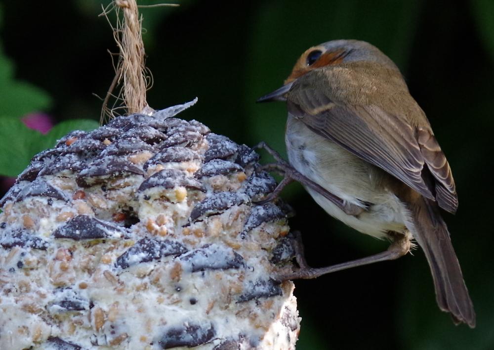 Robin mining a fatball