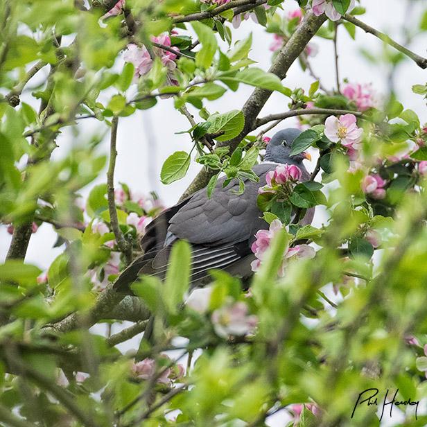 Ikebana Pigeon