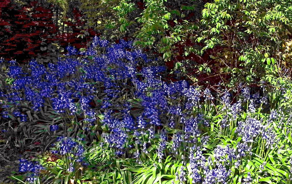 More Bluebells