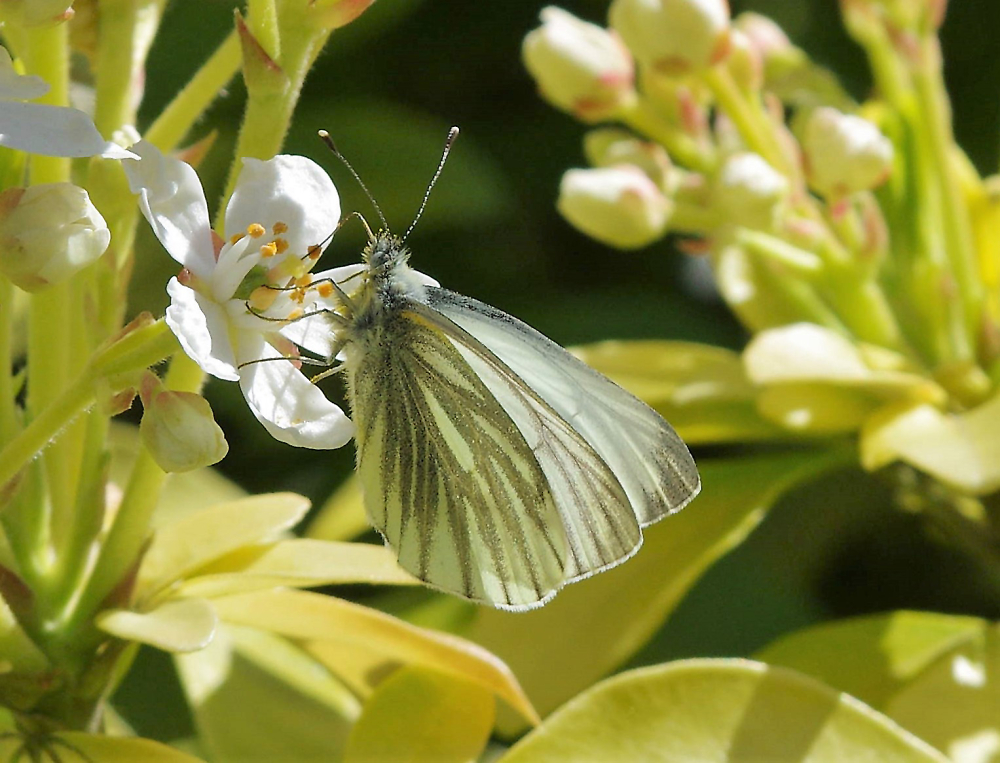 The Green Veined White