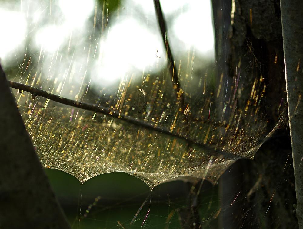 Evening cobweb