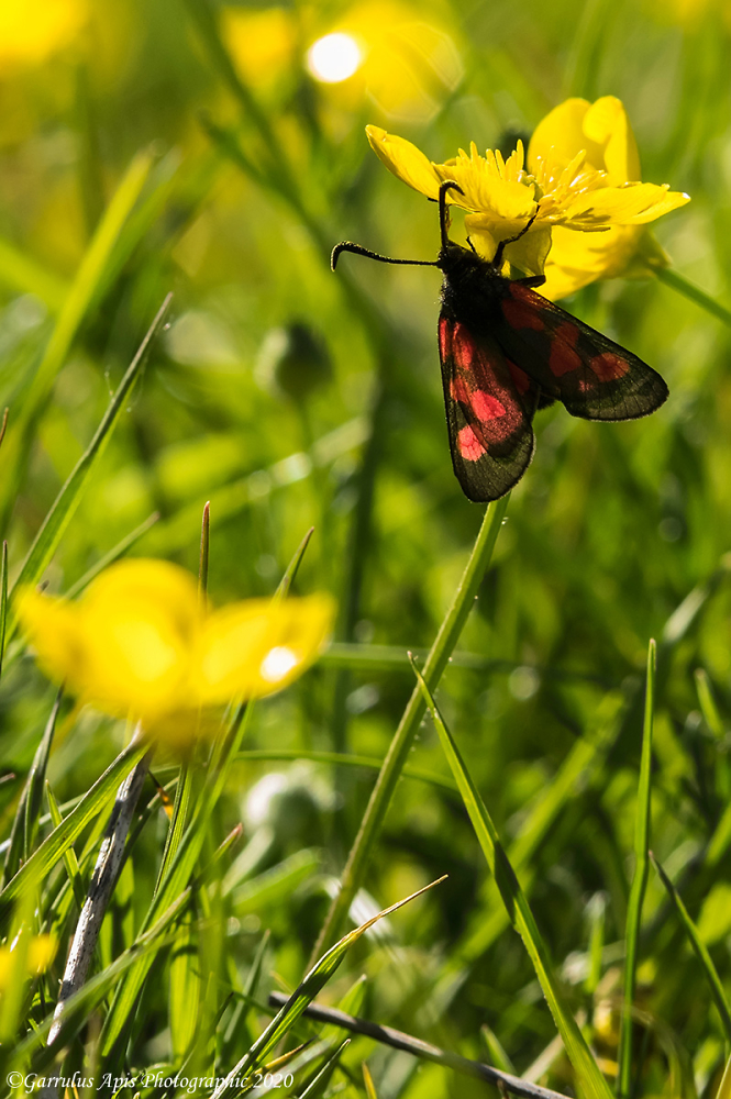 Five-spot Burnet, day-flying  moth