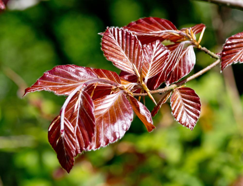 New Copper Beech Leaves