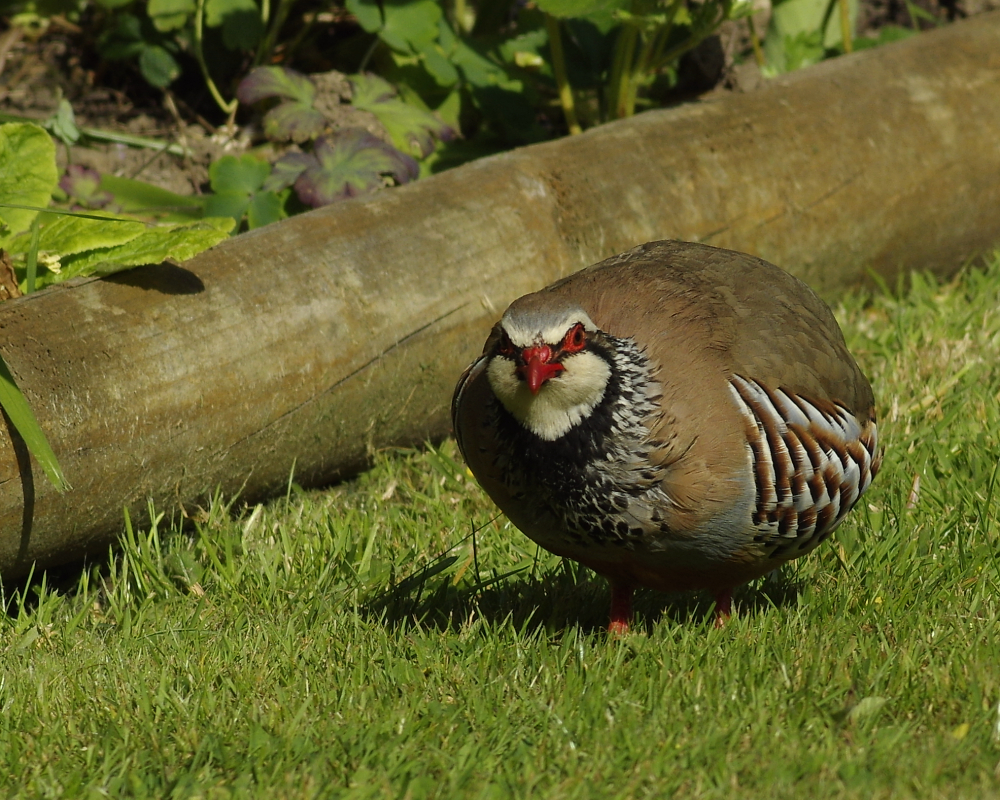 Red legged partridge.