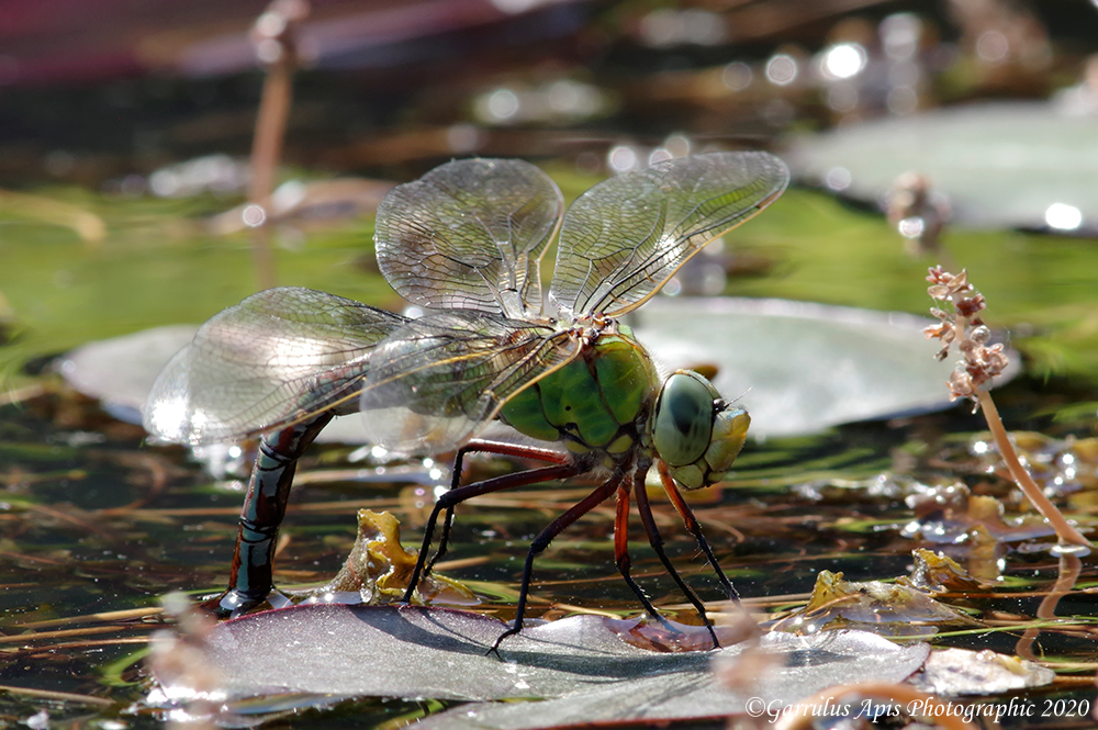 Lay lady (dragonfly) lay