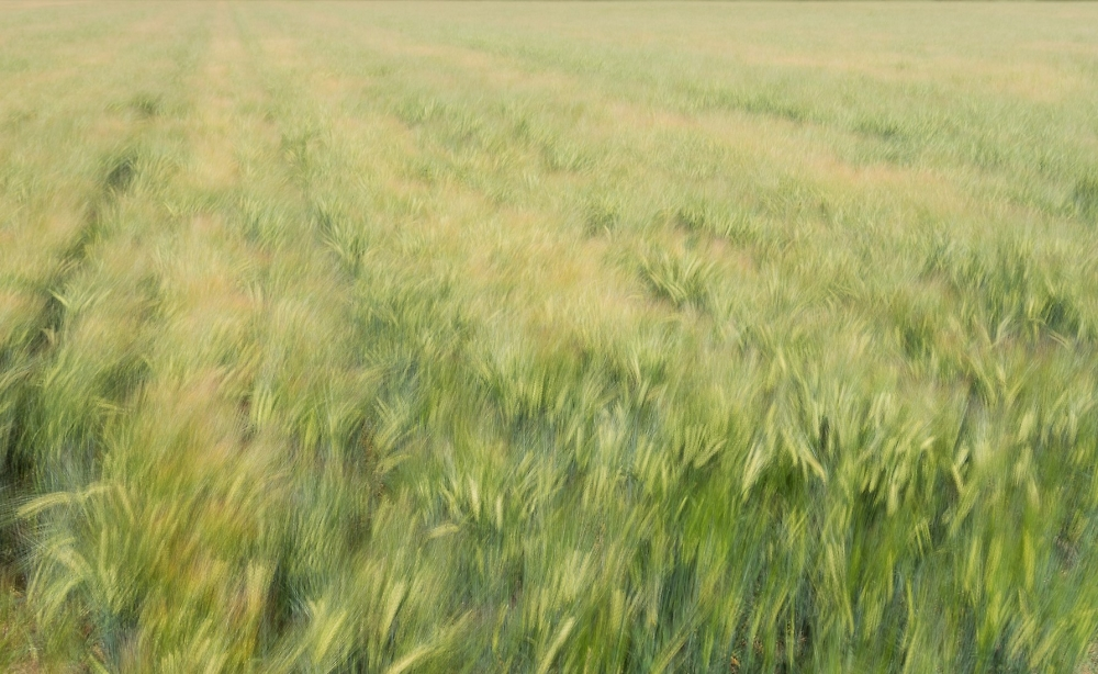 Wind in the Wheat