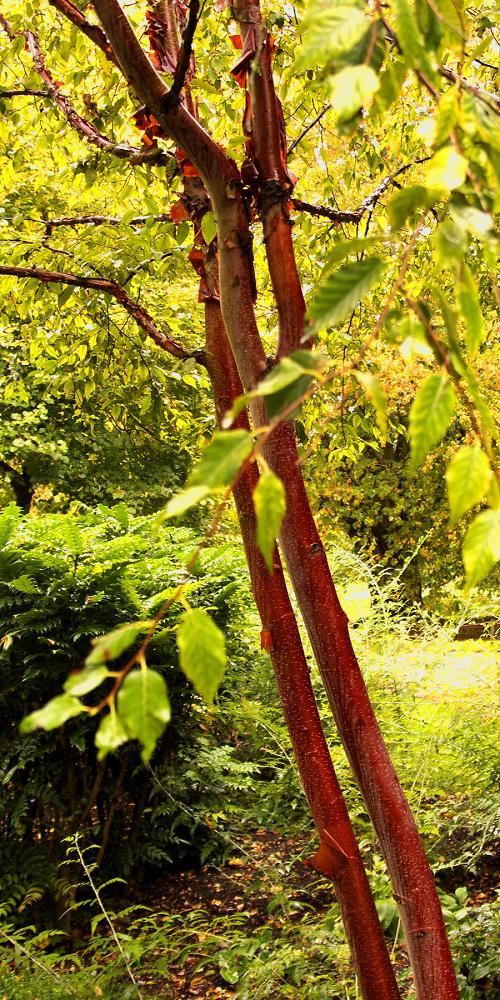 Chinese Red Birch