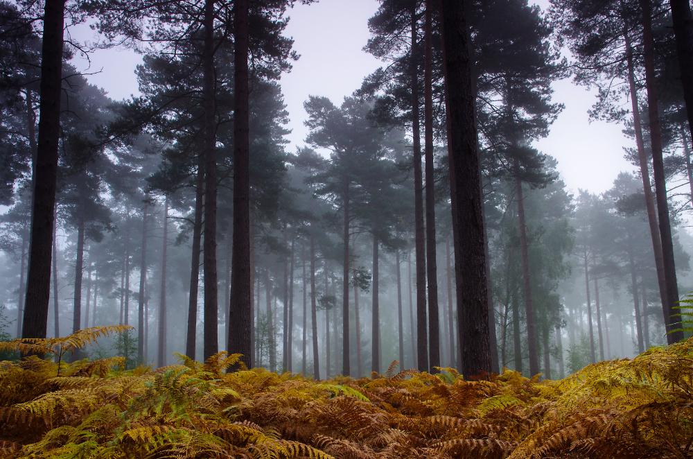 Foggy Firs and Ferns