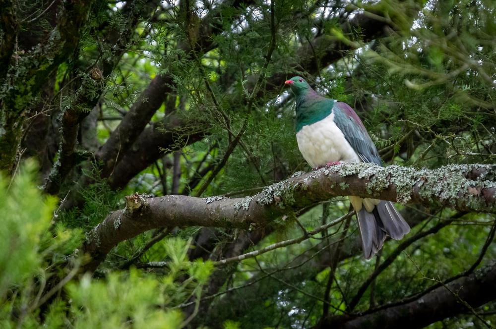Kererū - New Zealand native Pigeon