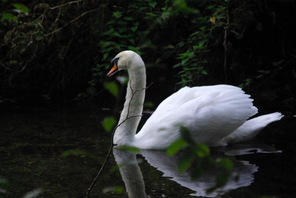 Swan Early Morning