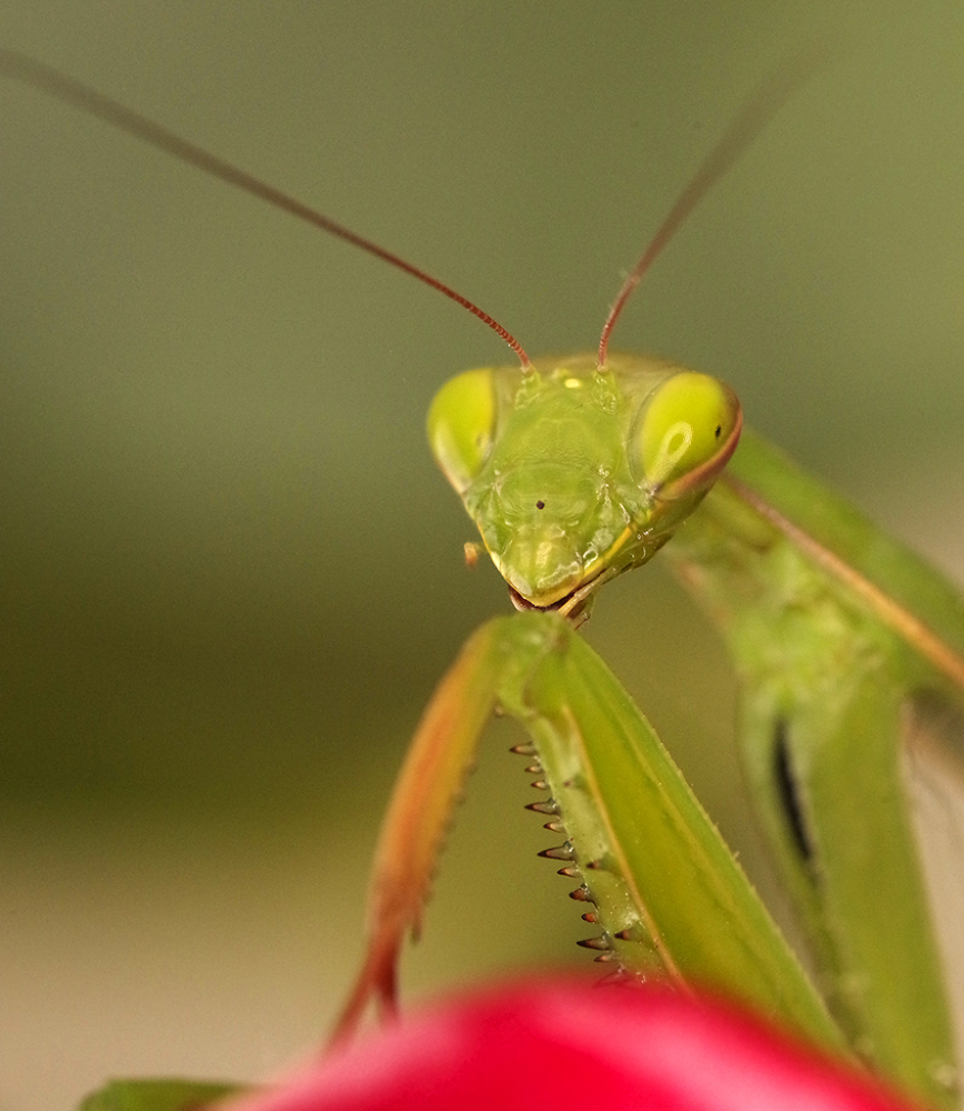 The Essential Mantis