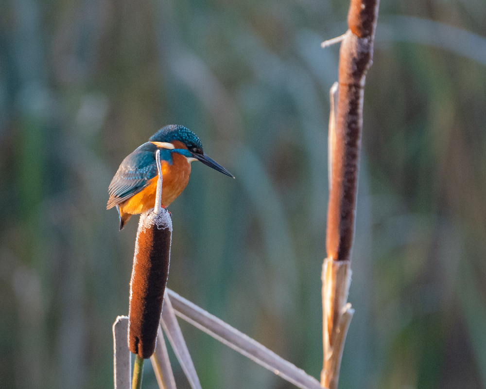 Kingfisher in frosty morning light