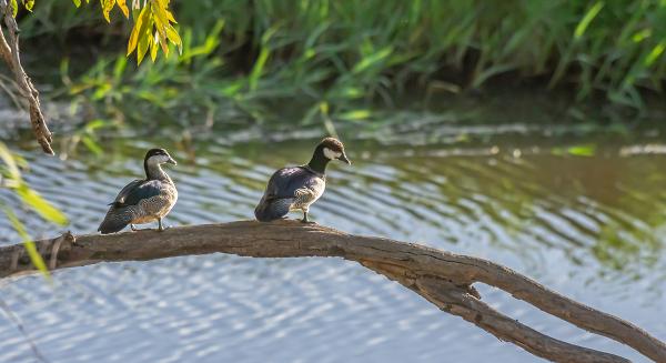 Ducks In A Tree