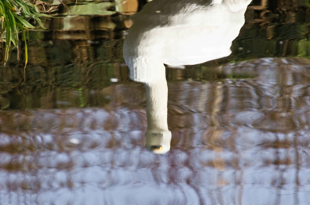 A Berwick Swan reflected in a pool