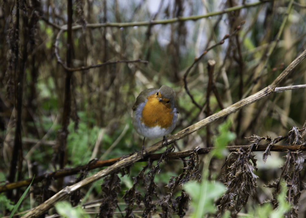 Cheeky Robin at Thrybergh Country Park