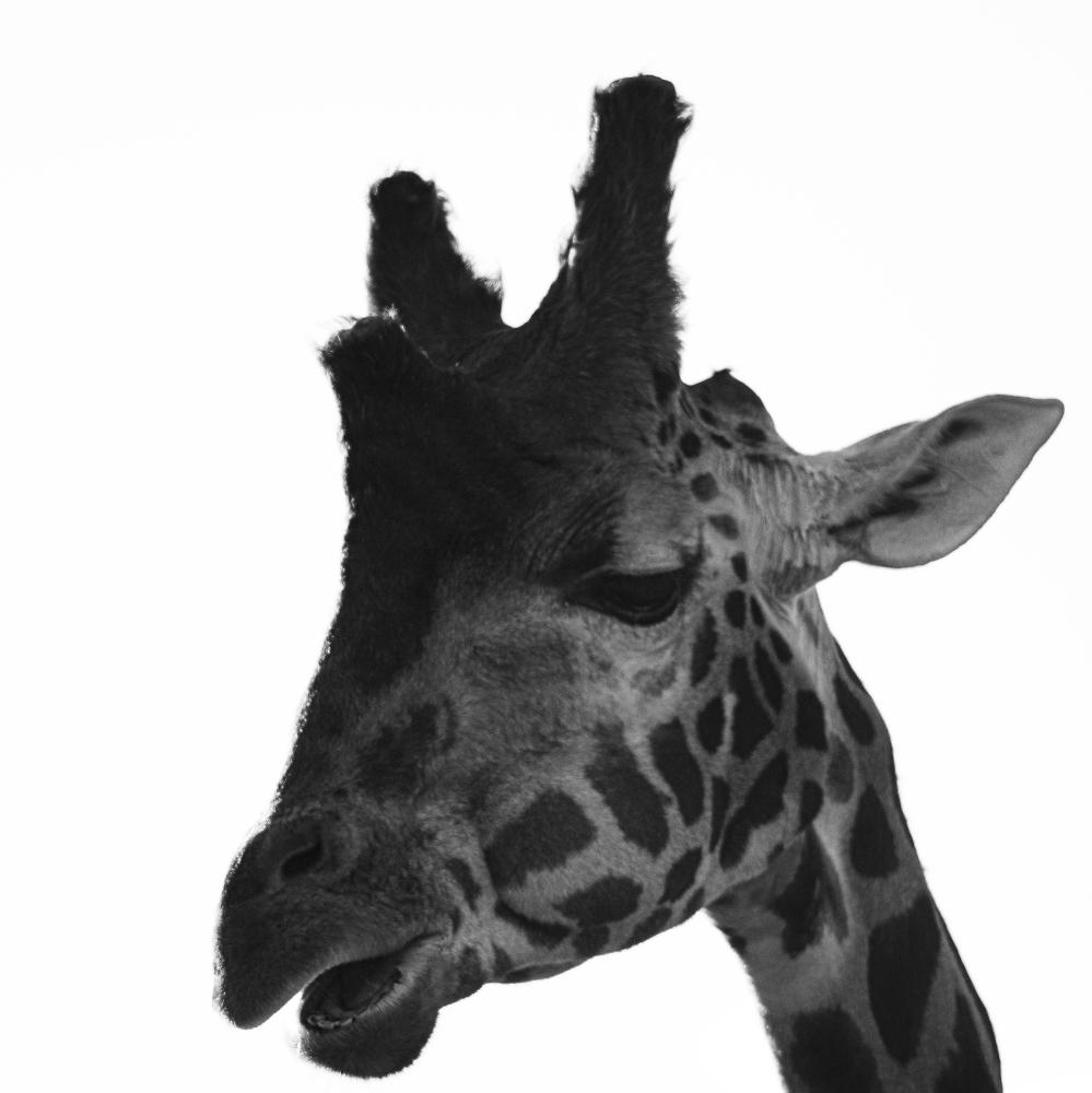 Giraffe in B&W