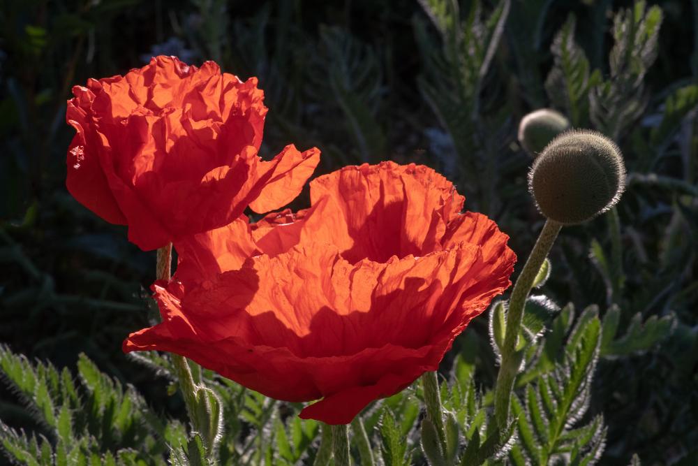 Evening Poppy